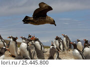 Lonnberg's Skua {Stercorarius antarcticus lonnbergi} flying low over a  Gentoo Penguin {Pygoscelis papua} rookery, Falklands islands. Стоковое фото, фотограф Solvin Zankl / Nature Picture Library / Фотобанк Лори