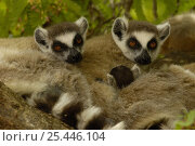Ring-tailed lemurs (Lemur catta) resting, Spiny forest, Berenty Reserve. Southern MADAGASCAR, endemic. Стоковое фото, фотограф Pete Oxford / Nature Picture Library / Фотобанк Лори