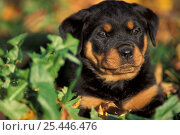 Domestic dog, Rottweiler puppy in leaves. Стоковое фото, фотограф Adriano Bacchella / Nature Picture Library / Фотобанк Лори