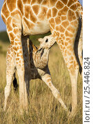 Reticulated giraffe {Giraffa cameloparalis reticulata} suckling young, Laikipia, Kenya, фото № 25446824, снято 25 сентября 2017 г. (c) Nature Picture Library / Фотобанк Лори
