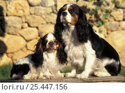 Domestic dog, Cavalier King Charles Spaniel with puppy. Стоковое фото, фотограф Adriano Bacchella / Nature Picture Library / Фотобанк Лори