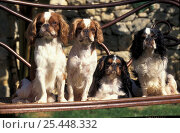 Domestic dog, four young Cavalier King Charles  Spaniels. Стоковое фото, фотограф Adriano Bacchella / Nature Picture Library / Фотобанк Лори