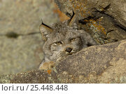 Canadian Lynx {Lynx lynx canadensis}Captive. Стоковое фото, фотограф Dave Watts / Nature Picture Library / Фотобанк Лори