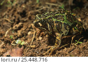Warty burrowing frog {Scaphiophryne marmorata} East Madagascar. Стоковое фото, фотограф Pete Oxford / Nature Picture Library / Фотобанк Лори