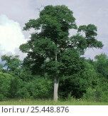 Japanese elm tree (Ulmus propinqua/ Ulmus davidiana var. japonica) dominant tree in Elm / Ash riparian forests of Ussuriland, SE Siberia, Russia, фото № 25448876, снято 26 марта 2017 г. (c) Nature Picture Library / Фотобанк Лори