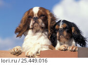 Domestic dog, two Cavalier King Charles Spaniel on wall. Стоковое фото, фотограф Adriano Bacchella / Nature Picture Library / Фотобанк Лори