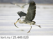 Купить «Grey Heron (Ardea cincerea) running over frozen river Peenestrom, with a fish in beak, about to fly, Mecklenburg-Vorpommern, Wolgast, Peenestrom, Germany», фото № 25449020, снято 6 декабря 2019 г. (c) Nature Picture Library / Фотобанк Лори
