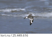 Willet (Tringa semipalmatus) in flight, winter plumage, Sanibel Island, Florida, USA. December 1998. Стоковое фото, фотограф Rolf Nussbaumer / Nature Picture Library / Фотобанк Лори