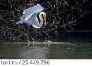 Great Egret (Ardea alba) with freshly caught fish, Sanibel Island, Florida, USA. December 1998. Стоковое фото, фотограф Rolf Nussbaumer / Nature Picture Library / Фотобанк Лори