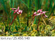 Купить «Wild Cranberry flowers (Vaccinium oxycoccos)  in swamps of SE Siberia, Russia, June», фото № 25450140, снято 15 августа 2018 г. (c) Nature Picture Library / Фотобанк Лори