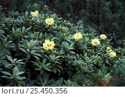 {Rhododendron auratum} flowering in Sikhote-Alin mountains, SE Siberia, far east Russia. Стоковое фото, фотограф Konstantin Mikhailov / Nature Picture Library / Фотобанк Лори