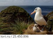 Купить «Black browed albatross (Thalassarche melanophrys) at nest with chick, Falkland Islands», фото № 25450896, снято 5 июля 2020 г. (c) Nature Picture Library / Фотобанк Лори