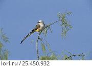 Купить «Scissor-tailed Flycatcher (Tyrannus forficatus) perched in tree, Starr County, Rio Grande Valley, Texas, USA. May 2002», фото № 25450932, снято 17 августа 2018 г. (c) Nature Picture Library / Фотобанк Лори