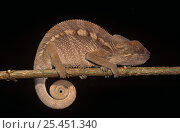 Купить «Panther chameleon {Chamaeleo / Furcifer pardalis} on branch with coiled tail,  Madagascar», фото № 25451340, снято 17 июля 2019 г. (c) Nature Picture Library / Фотобанк Лори