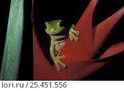 Купить «Green tree frog {Litoria caerulea} on Heliconia, Queensland, Australia», фото № 25451556, снято 20 июля 2019 г. (c) Nature Picture Library / Фотобанк Лори