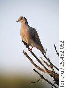 Купить «Turtle dove {Streptopelia turtur} perching on branch, Spain.», фото № 25452052, снято 22 февраля 2019 г. (c) Nature Picture Library / Фотобанк Лори