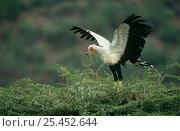 Secretary bird {Sagittarius serpentarius} bringing nesting material to nest in Thorn tree, Samburu GR, Kenya. Стоковое фото, фотограф Mary McDonald / Nature Picture Library / Фотобанк Лори