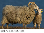 Купить «Gotland sheep mother + lamb, Stora Karls Island, Gotland, Sweden.», фото № 25455180, снято 19 января 2019 г. (c) Nature Picture Library / Фотобанк Лори