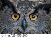 Купить «European Eagle owl {Bubo bubo} Captive, Sweden.», фото № 25455200, снято 17 сентября 2019 г. (c) Nature Picture Library / Фотобанк Лори