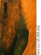 Купить «Close up of tail of European Grey Wolf {Canis lupus} Romania», фото № 25455432, снято 19 февраля 2019 г. (c) Nature Picture Library / Фотобанк Лори