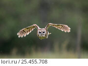 Tawny Owl {Strix aluco} in flight in light rain, Cairngorms Scotland, UK. Captive. Стоковое фото, фотограф Pete Cairns / Nature Picture Library / Фотобанк Лори