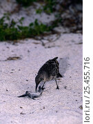 Купить «Hood Island mocking bird {Nesomimus trifasciatus macdonaldi} feeding on turtle hatchling, Hood Is, Galapagos», фото № 25455716, снято 20 марта 2019 г. (c) Nature Picture Library / Фотобанк Лори