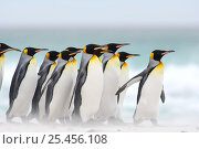 Group of King penguins {Aptenodytes patagonicus} walking on beach, Falkland Islands. Стоковое фото, фотограф Solvin Zankl / Nature Picture Library / Фотобанк Лори