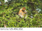 Купить «Female Proboscis monkey {Nasalis larvatus} eating, Riverine forest, Kinabatangan River, Sukau, Sabah, Borneo.», фото № 25456332, снято 23 января 2019 г. (c) Nature Picture Library / Фотобанк Лори