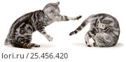 Купить «Two silver tabby Domestic cats {Felis catus} one showing dominance and the other roling over in submission, UK», фото № 25456420, снято 25 февраля 2020 г. (c) Nature Picture Library / Фотобанк Лори