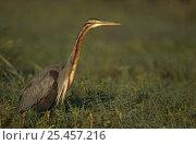 Купить «Purple heron (Ardea purpurea) standing in vegetation, Keoladeo Ghana NP, Bharatpur, Rajasthan, India», фото № 25457216, снято 5 июля 2020 г. (c) Nature Picture Library / Фотобанк Лори
