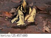 Купить «Rainforest butterflies {Papilio sp} feeding on minerals from mud, Brazil, South America», фото № 25457680, снято 20 января 2019 г. (c) Nature Picture Library / Фотобанк Лори