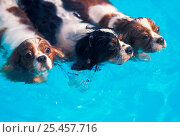 Three Cavalier King Charles spaniels swimming in swimming pool. Стоковое фото, фотограф Adriano Bacchella / Nature Picture Library / Фотобанк Лори