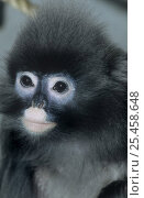 Купить «Phayre's leaf monkey {Trachypithecus phayrei} female, captive, from SE Asia, Endangered», фото № 25458648, снято 20 января 2020 г. (c) Nature Picture Library / Фотобанк Лори