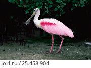 Купить «Roseate spoonbill {Platalea ajaja}  Florida, USA», фото № 25458904, снято 22 марта 2019 г. (c) Nature Picture Library / Фотобанк Лори