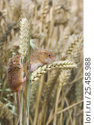 Купить «Two Harvest mice {Micromys minutus} climbing between wheat-ears, Captive, Europe.», фото № 25458988, снято 18 августа 2018 г. (c) Nature Picture Library / Фотобанк Лори