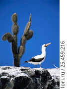 Купить «Masked booby (Sula dactylatra granti) standing on rock, Genovesa, Galapagos, Ecuador, South America, endemic subspecies», фото № 25459216, снято 25 июня 2019 г. (c) Nature Picture Library / Фотобанк Лори