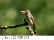 Купить «Spotted Flycatcher (Muscicapa striata) with Buff Ermine Moth prey.», фото № 25459568, снято 17 декабря 2018 г. (c) Nature Picture Library / Фотобанк Лори