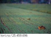 Купить «European hare {Lepus europaeus} in crop field, Gotland, Sweden», фото № 25459696, снято 23 марта 2019 г. (c) Nature Picture Library / Фотобанк Лори