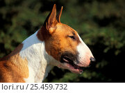 Купить «Brown and white English Bull Terrier profile , outdoors», фото № 25459732, снято 17 августа 2018 г. (c) Nature Picture Library / Фотобанк Лори