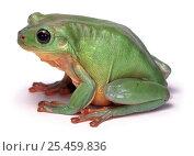Купить «Green Tree Frog (Litoria caerulea) captive, Australia.», фото № 25459836, снято 20 июля 2019 г. (c) Nature Picture Library / Фотобанк Лори