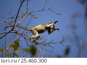 Купить «Black Howler Monkey, female jumping from branch to branch (Alouatta caraya) Pantanal. Brazil. sequence 1/4», фото № 25460300, снято 23 января 2019 г. (c) Nature Picture Library / Фотобанк Лори