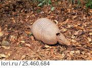 Brazilian lesser long-nosed armadillo {Dasypus septemcinctus} Bolivia, Gran Chaco NP. Редакционное фото, фотограф Luiz Claudio Marigo / Nature Picture Library / Фотобанк Лори