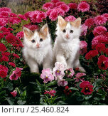 Domestic Cat {Felis catus} 7-week, White-and-tortoiseshell kittens, 'Mimi' and 'Maisie' among Pink pansies and Chrysanthemums. Стоковое фото, фотограф Jane Burton / Nature Picture Library / Фотобанк Лори