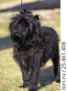 Купить «Black Affenpinscher with wiry, shaggy coat.», фото № 25461408, снято 21 сентября 2018 г. (c) Nature Picture Library / Фотобанк Лори