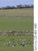 Купить «Barnacle Geese (Branta leucopsis) feeding on improved pasture on crofting land (used as wintering grounds), Islay, Scotland, UK.», фото № 25461440, снято 30 марта 2020 г. (c) Nature Picture Library / Фотобанк Лори