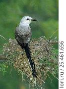 Купить «Scissor tailed flycatcher {Tyrannus forficatus} adult on nest, Welder Wildlife Refuge, Sinton, Texas, USA.», фото № 25461656, снято 17 августа 2018 г. (c) Nature Picture Library / Фотобанк Лори