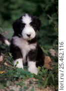 Купить «Black and white Bearded Collie puppy portrait», фото № 25462116, снято 19 июля 2018 г. (c) Nature Picture Library / Фотобанк Лори