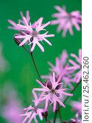 Купить «Ragged robin flowers {Silene flos-cuculi} Germany», фото № 25462260, снято 18 февраля 2019 г. (c) Nature Picture Library / Фотобанк Лори