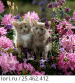 Купить «Domestic Cat {Felis catus} 6-week, Blue-and-white female and Blue male kittens, among Purple columbines and flowering Rhododendrons.», фото № 25462412, снято 27 июня 2019 г. (c) Nature Picture Library / Фотобанк Лори