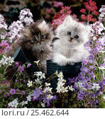 Купить «Domestic Cat {Felis catus} 7-weeks, Gold-shaded and Silver-shaded Persian kittens in watering can on a dry-stone wall surrounded by flowers.», фото № 25462644, снято 14 ноября 2019 г. (c) Nature Picture Library / Фотобанк Лори